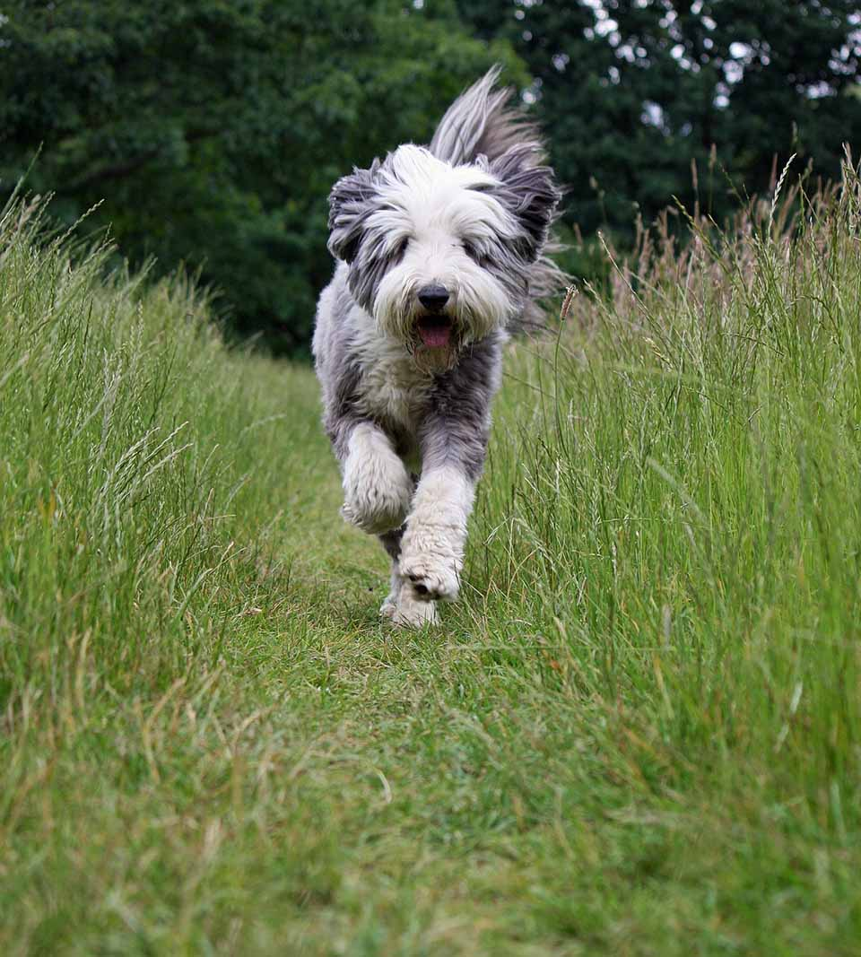 bearded collie corriendo