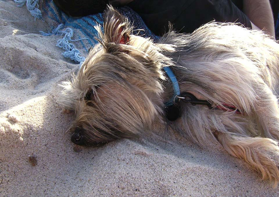 cairn terrier durmiendo