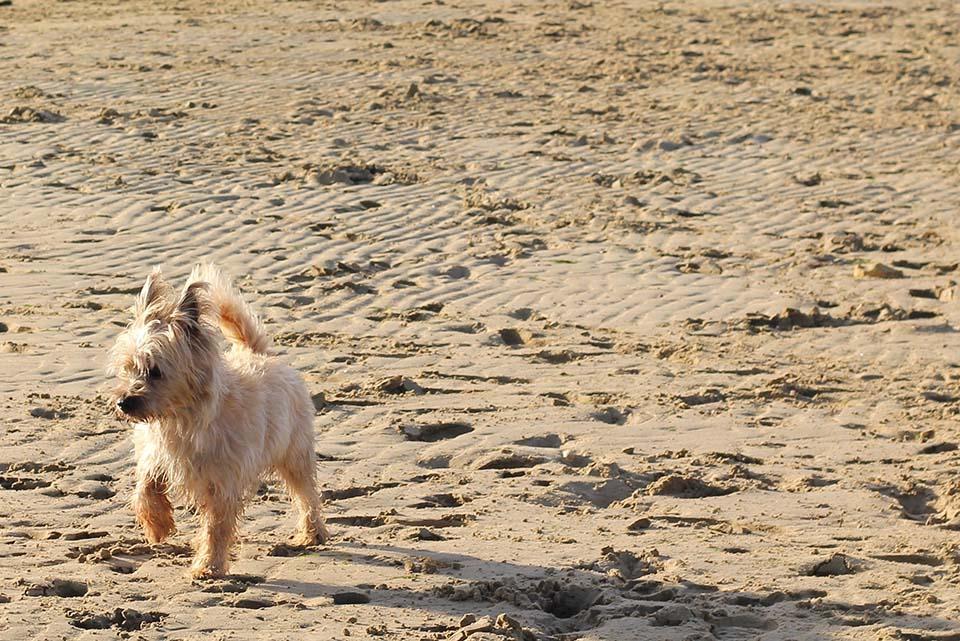 Los perros de raza Cairn terrier tienen una longevidad de 12 a 15 años