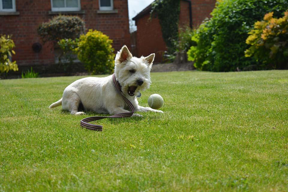 cairn terrier jugando