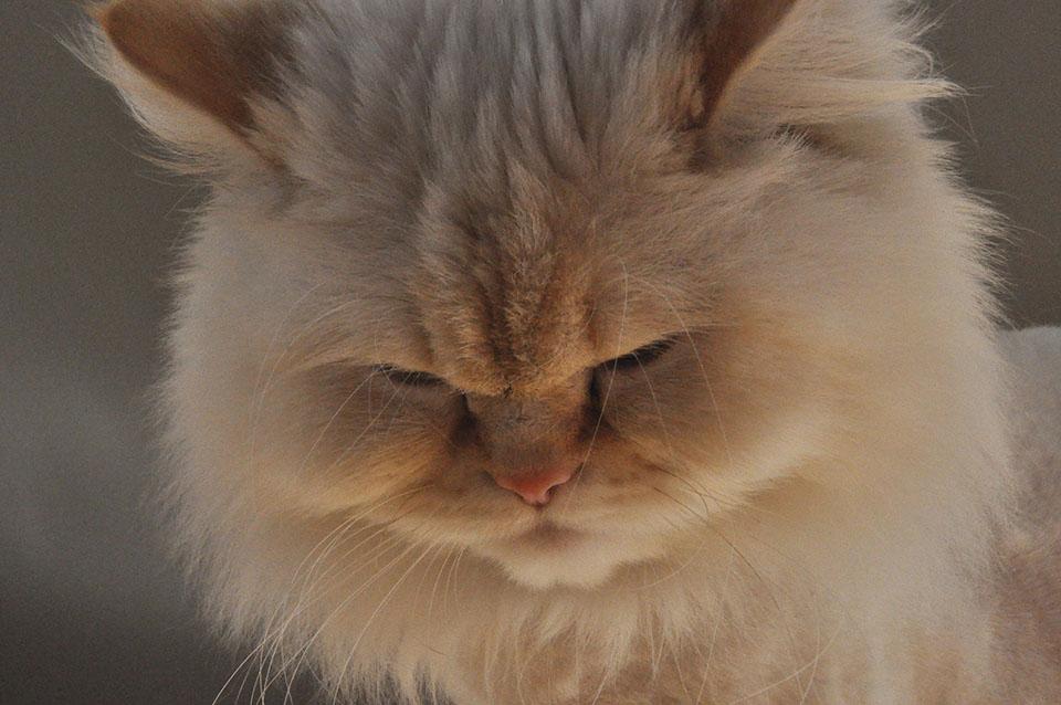 cat himalayo