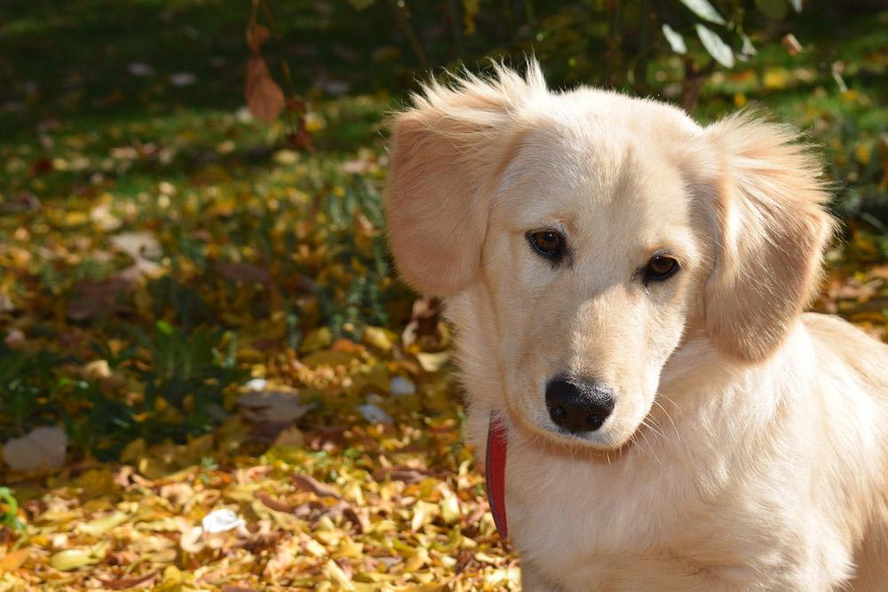 displasia coxofemoral en perros