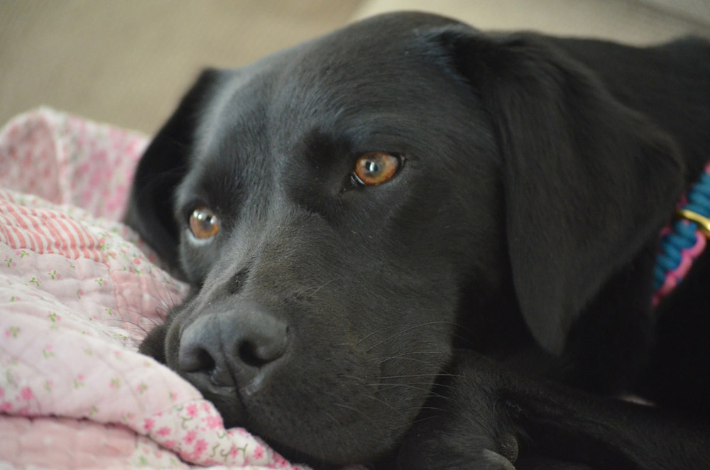 El hipotiroidismo canino
