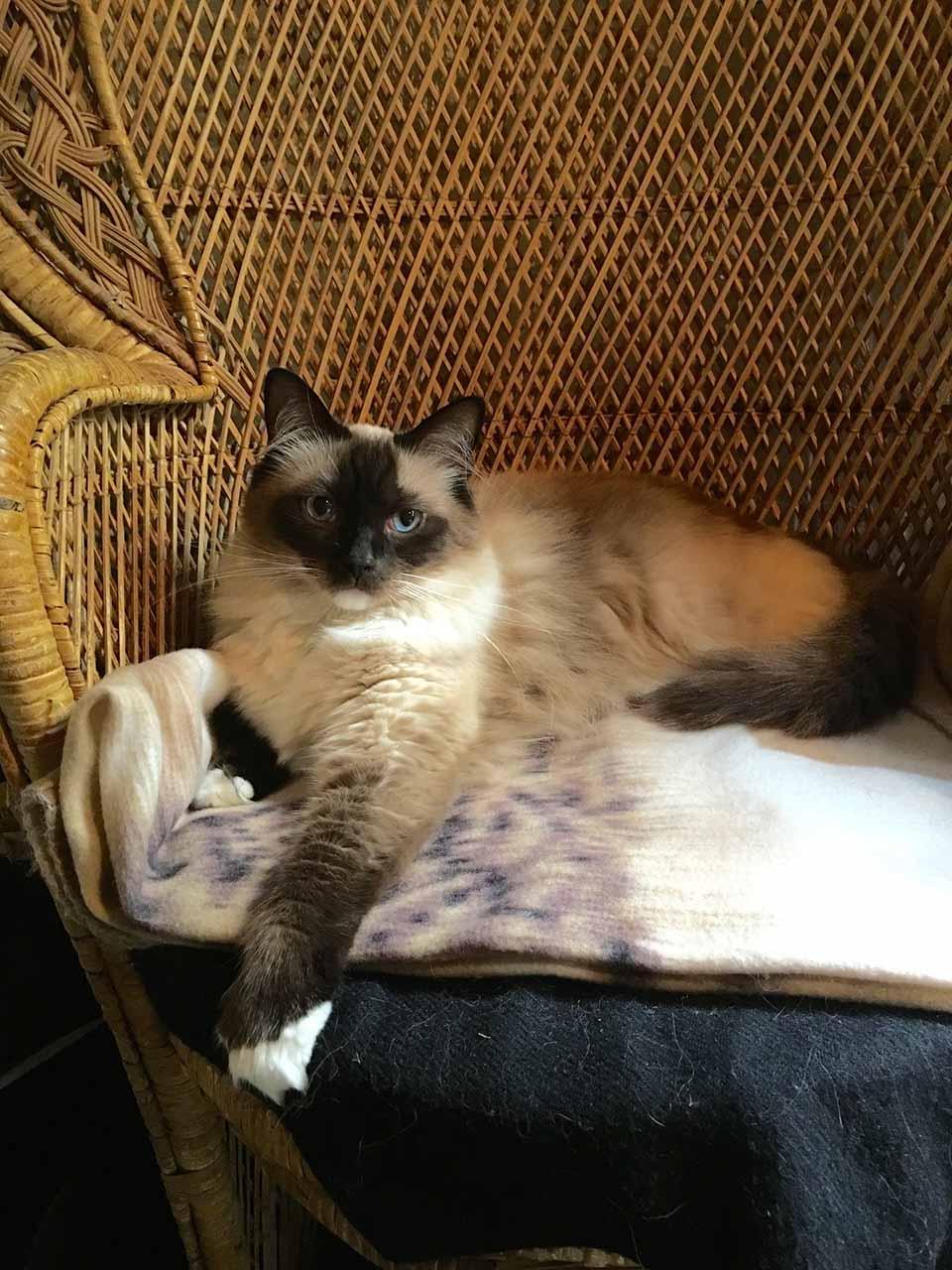 himalayo gato