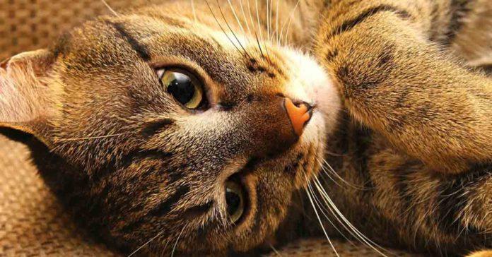 La otitis en gatos