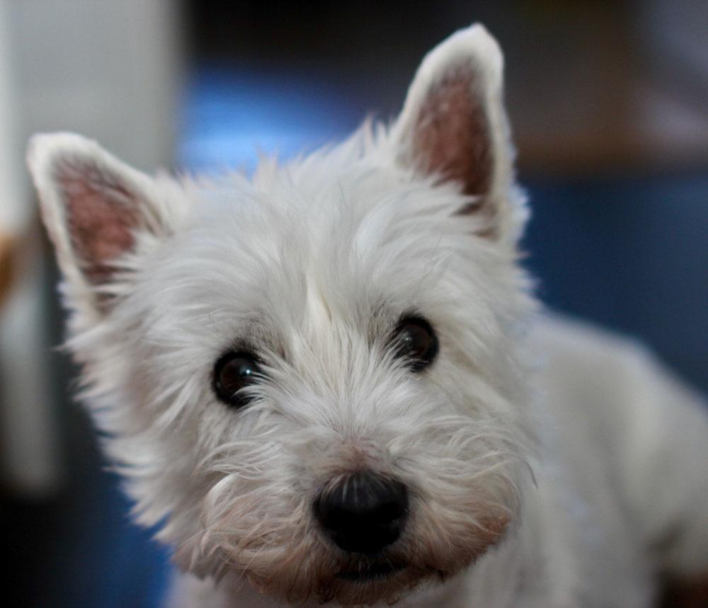 El West Highland white terrier es también conocido como Westie o Westy
