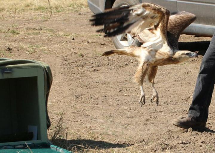 Águila liberada