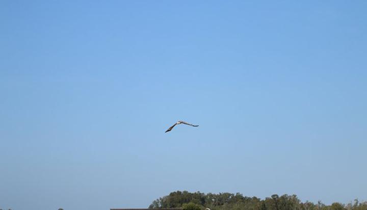 Águila libre