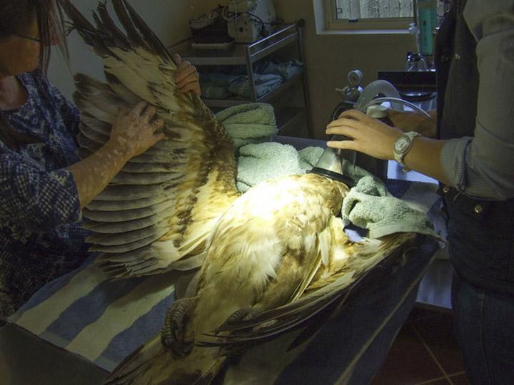 Águila sedada