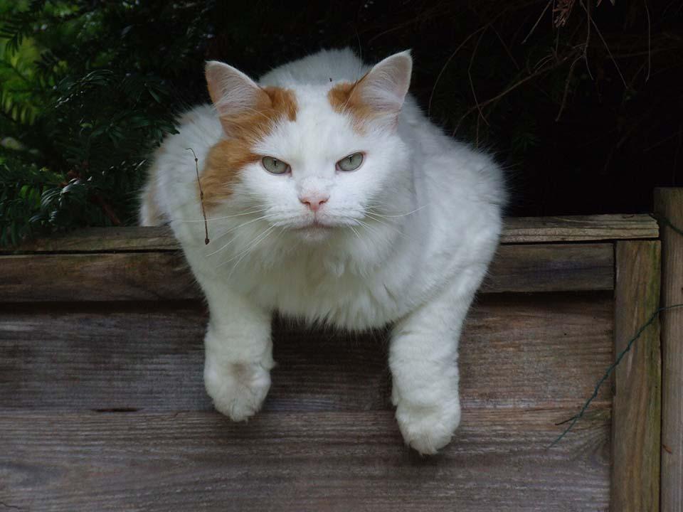 El Gato Van Turco tiene una esperanza de vida de 13 a 17 años