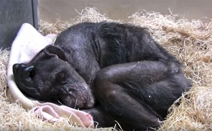 Chimpancé enferma no quería comer y reconoce la voz de su antiguo cuidador