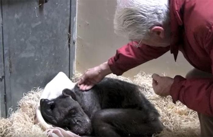 Chimpancé moribunda