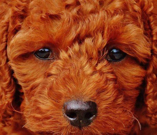 Conjuntivitis en perros