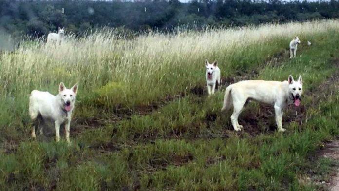 Familia de pastores blancos abandonados en Texas