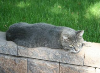 Gato Manx gato sin cola