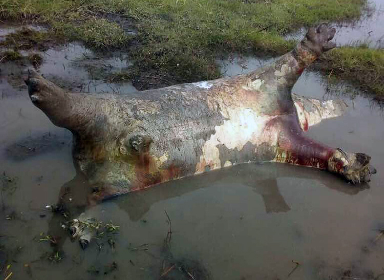 Hipopótamo muerto