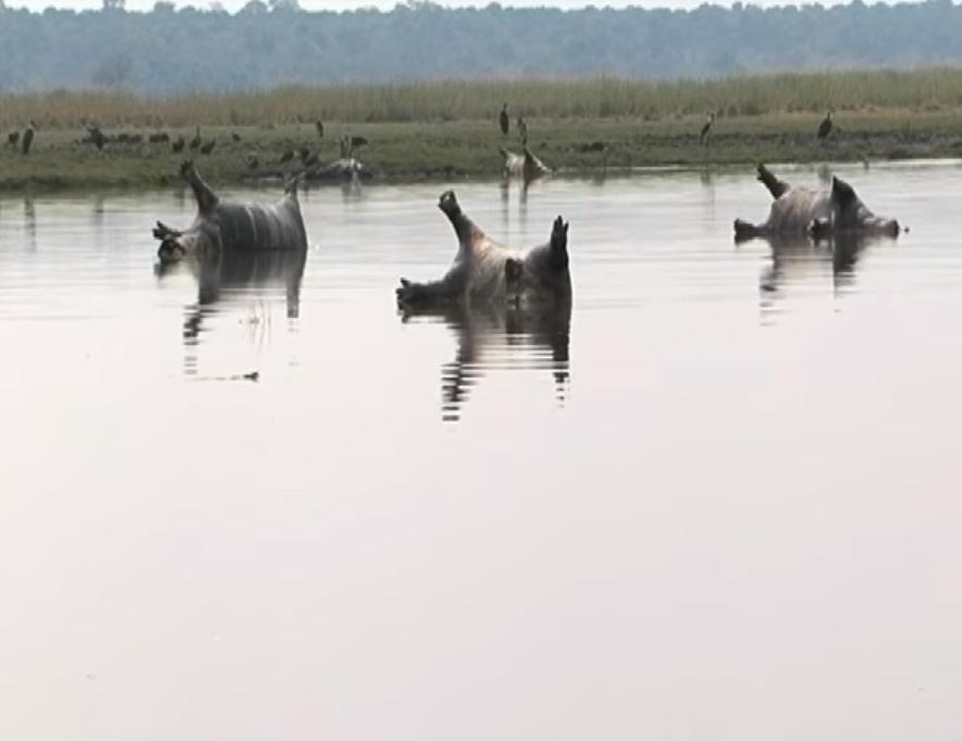 Hipopótamos muertos