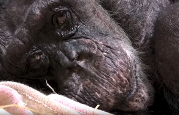 Mama chimpancé de 59 años