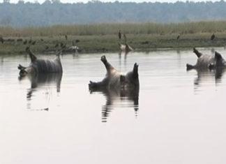 Mas de 100 hipopótamos muertos por brote de ántrax