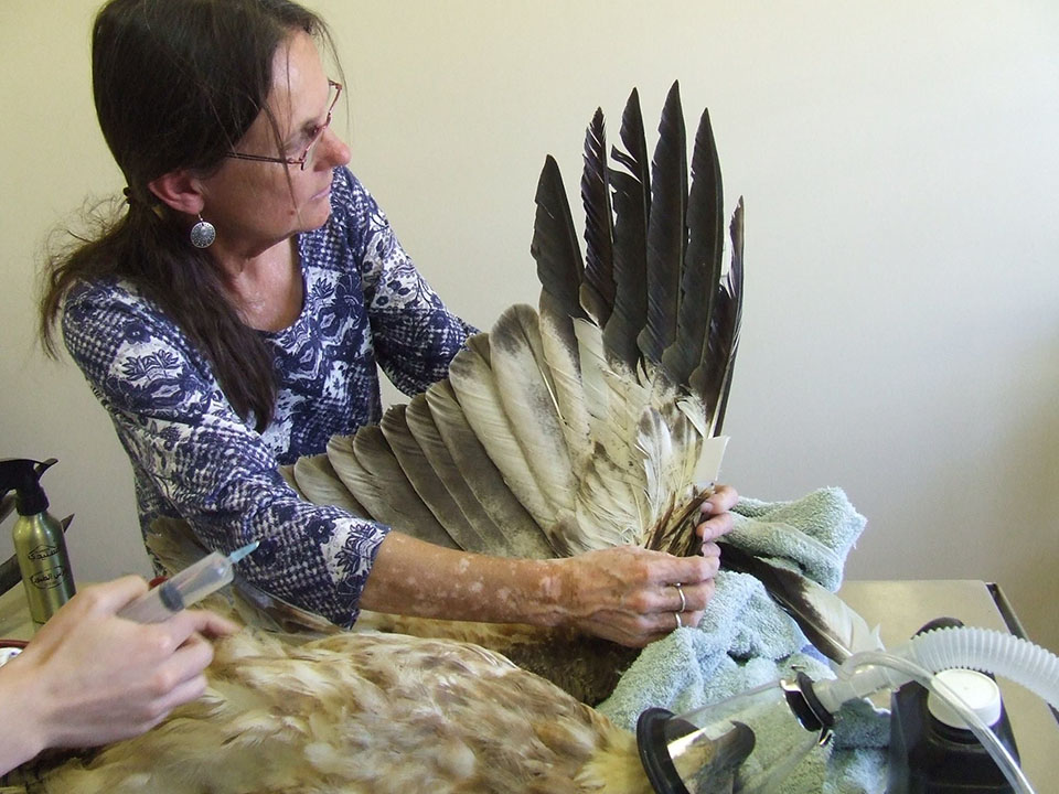 Mujer repara ala a águila