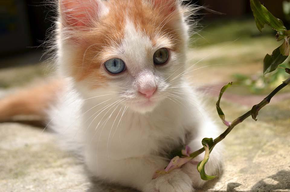 Ojos de color ámbar y azul Van turco