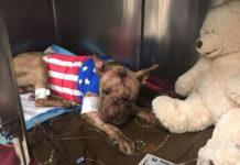 Ollie el perro apuñalado muere