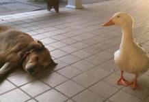 Pato amistoso es el consuelo de un perro deprimido