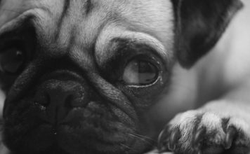 Peritonitis en perros