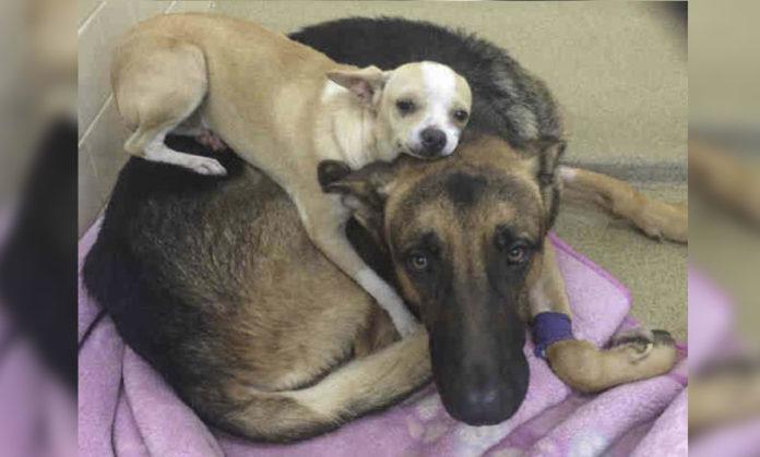 Perro consuela a su mejor amigo enfermo