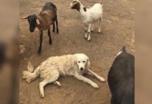 Perro dedicado se negó a dejar las cabras en el incendio