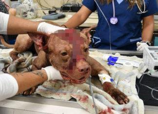 Perro ensangrentado fue apuñalado y golpeado abandonado en una maleta