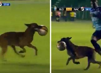 Perro policía se roba la pelota del partido