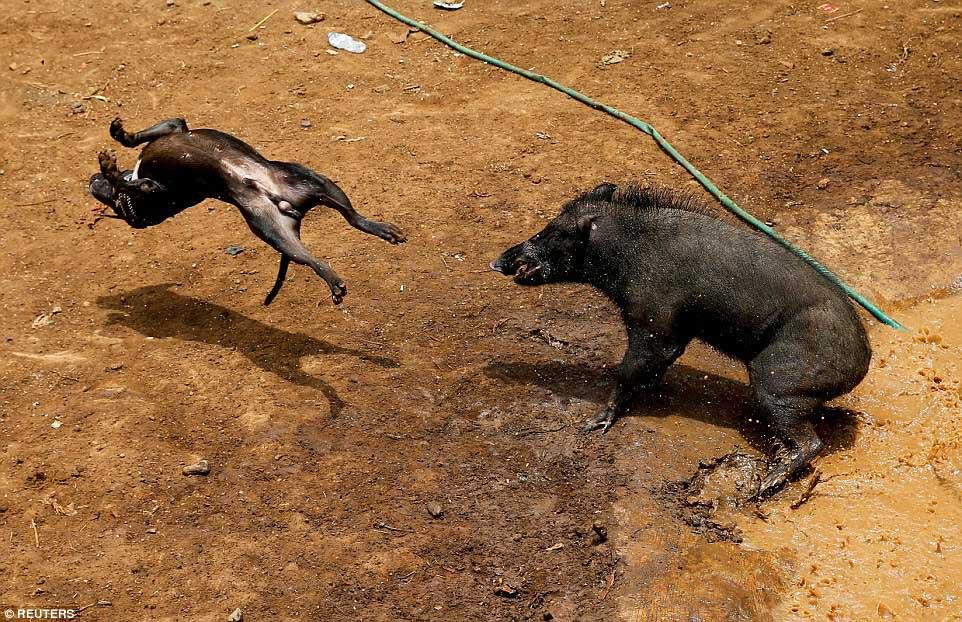Perro y jabalí