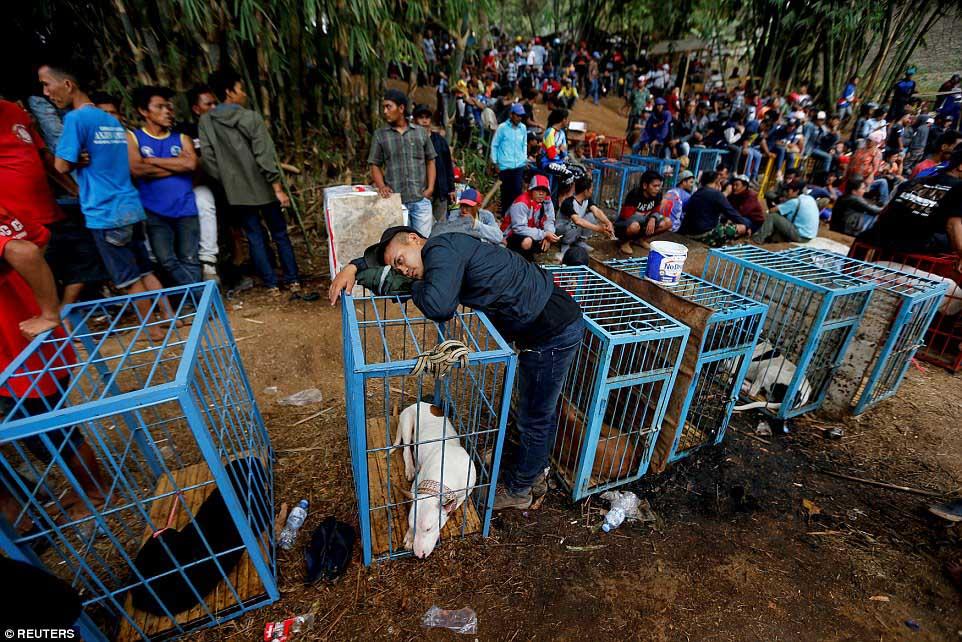 Perros para pelea en Indonesia