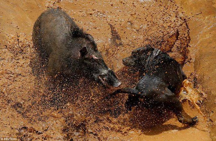 Perros y jabalíes obligados a pelear en absurda tradición