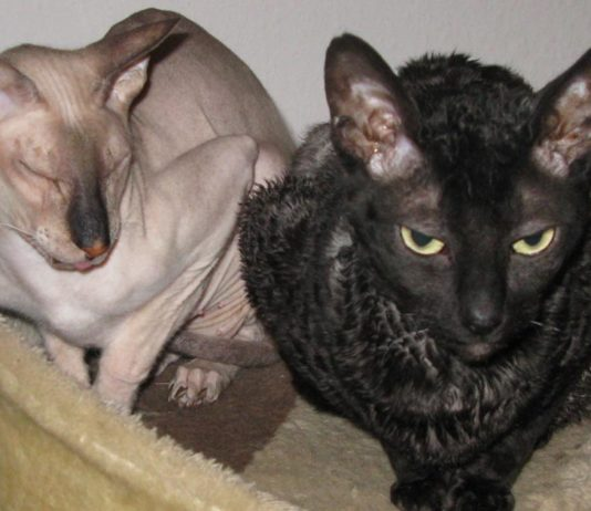 Peterbald from Wikimedia Commons