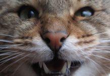 Rabia en gatos o hidrofobia felina
