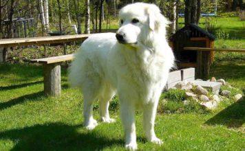 Perro gran pirineo o Perro de montaña de los Pirineos
