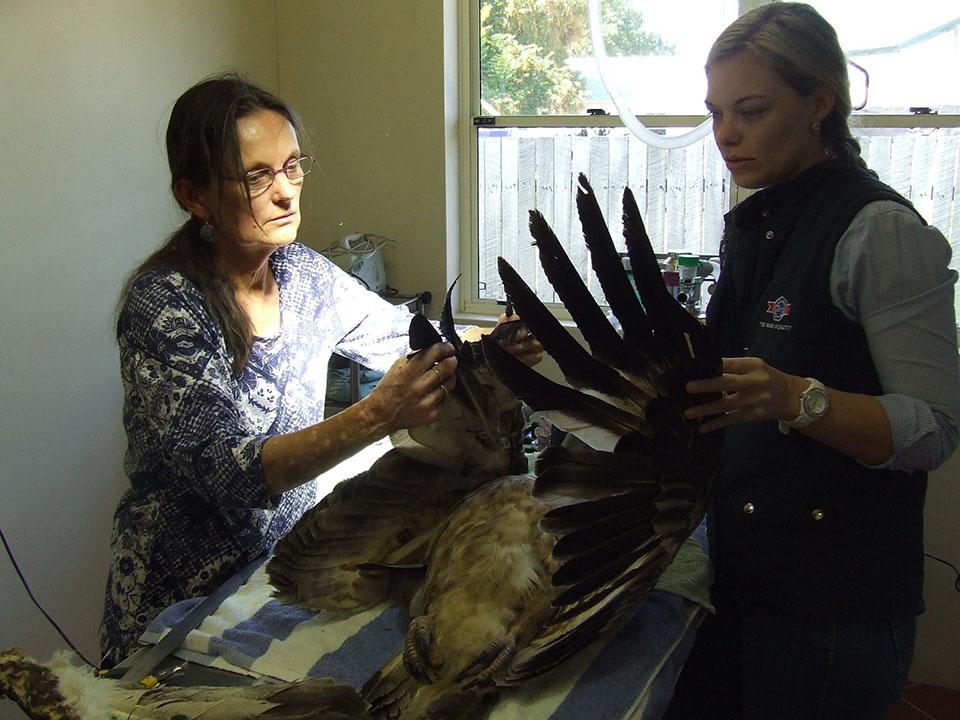Reparan ala del águila
