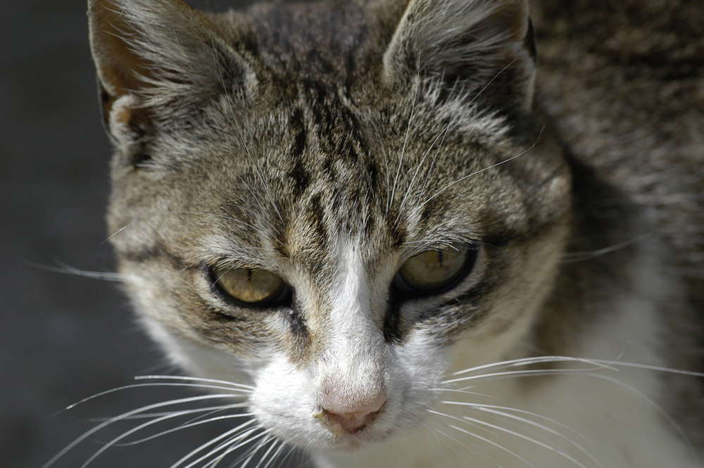 Virus de leucemia en gatos