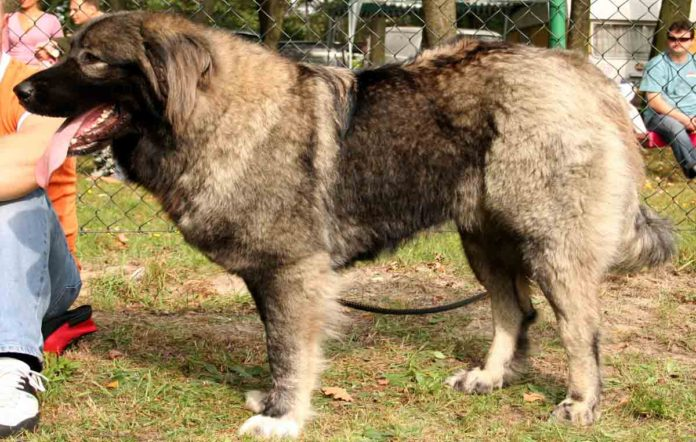 Raza canina pastor caucásico