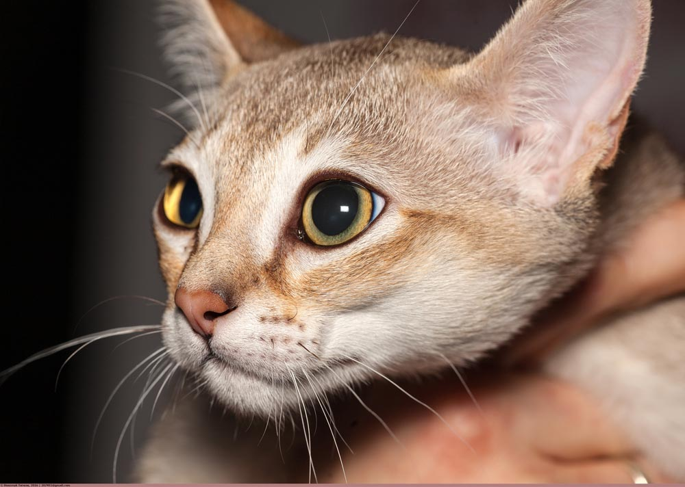 raza de gato singapura