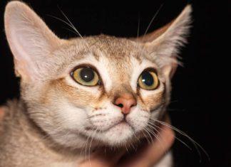 Raza felina gato singapura