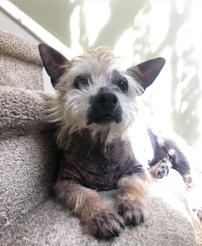 Cairn terrier rescatado