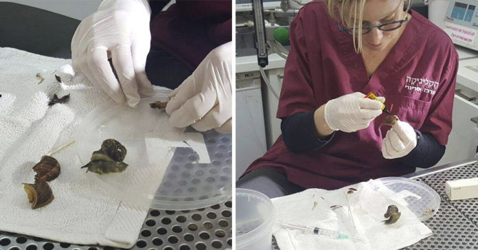 Caracol espera que el veterinario repare su caparazón