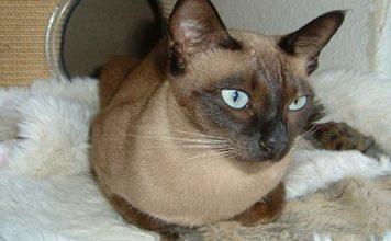 El gato tonkinés o Tonkinese