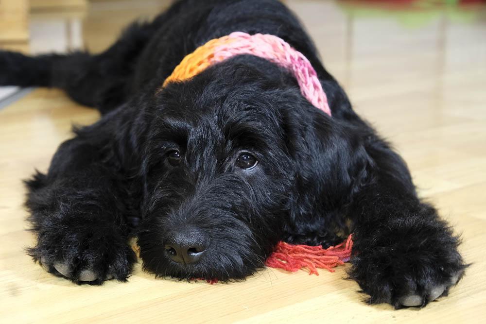 El megaesófago en perros