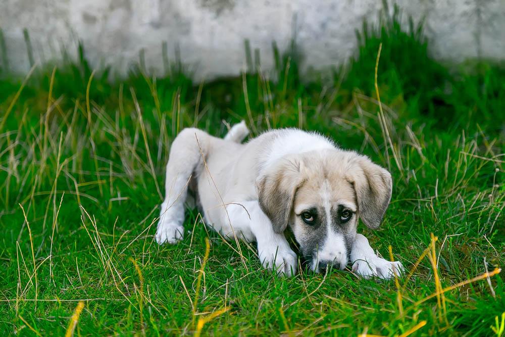 Enfermedad megaesófago en perros