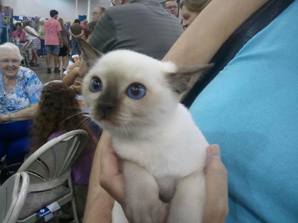 Gato Tonkinese bebé