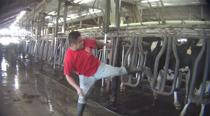 Hombre maltrata vaca en granja lechera